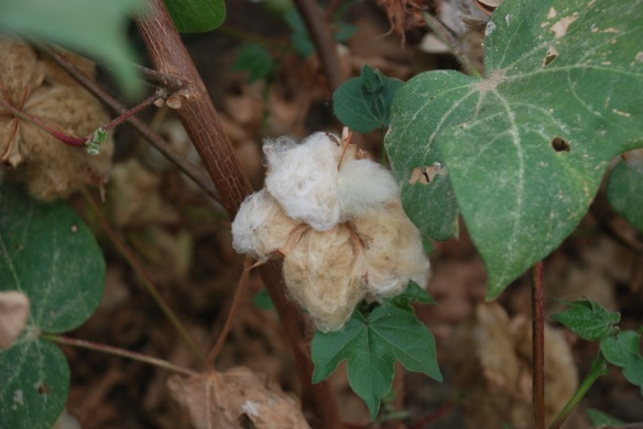 DSC_2073 brown cotton