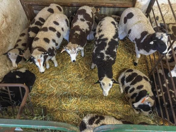 4-horn ewe lambs